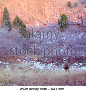 USA, Colorado, El Paso, Colorado Springs, Garden of the Gods, Garden Drive, Deer in natural environment - Stock Photo