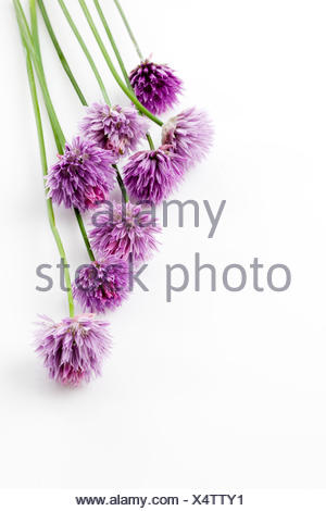 Flowering chives, Allium schoenoprasum - Stock Photo