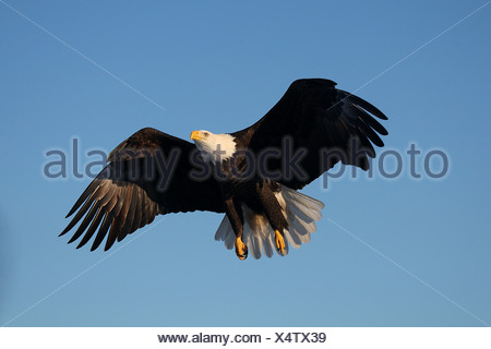 Bald Eagle (Haliaeetus leucocephalus). Adult in flight - Stock Photo