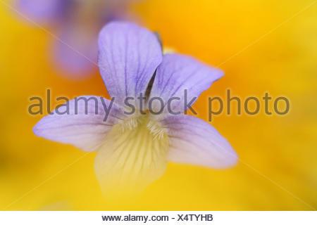 high brown fritillary (Fabriciana adippe, Argynnis adippe), flower, Germany - Stock Photo
