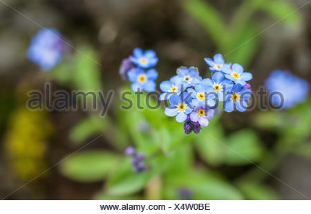 botany, forget-me-not (Myosotis) in the mountains in South Tyrol, Italy, Additional-Rights-Clearance-Info-Not-Available - Stock Photo