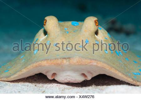 Bluespotted Ribbontail Ray, Taeniura lymma, Shaab Rumi, Red Sea, Sudan - Stock Photo