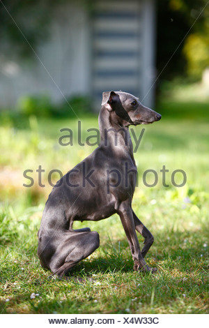 Italian Greyhound (Canis lupus f. familiaris), sitting in the garden, Germany - Stock Photo
