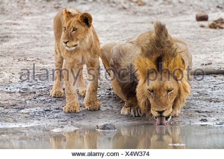 drinking lions - Stock Photo