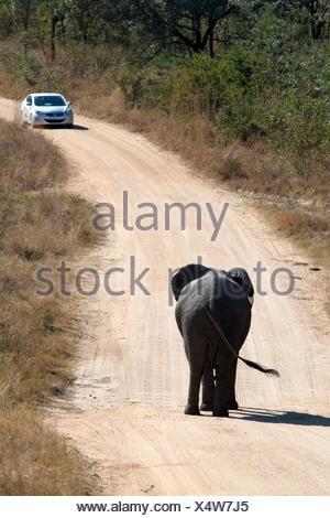 Elephant (Loxodonta africana) walking down dirt road towards car, Kruger National Park, Transvaal, South Africa. - Stock Photo