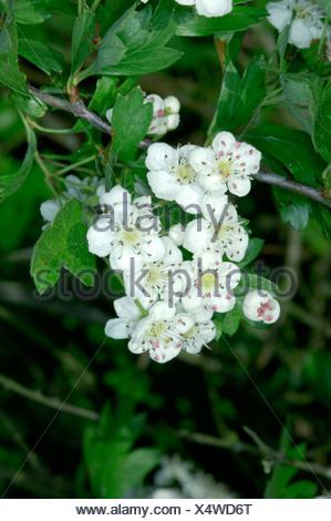HAWTHORN Crategus monogyna (Rosaceae) - Stock Photo