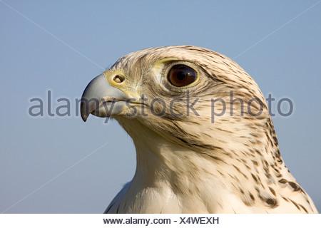 falcon - portrait / Falco hybrid - Stock Photo