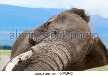 African Elephant (Loxodonta africana) Herd at Amboseli National Park Kenya Loxodonta africana Amboseli NP Kenya Afrika 03/2013 T - Stock Photo