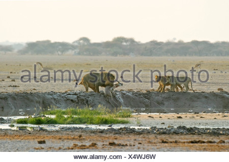 Hunting Lion (Panthera leo) with with cups and a killed springbok (Antidorcas marsupialis), Nxai Pan, Makgadikgadi Pans Nationa - Stock Photo