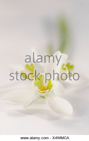 Galanthus nivalis Snowdrop flowers against a white background. - Stock Photo