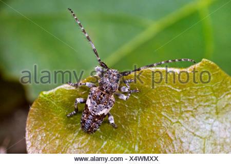 Conifer-wood longhorn beetle, Pine Longhorn (Pogonocherus fasciculatus), on a leaf, Germany - Stock Photo