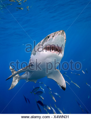 Great White Shark, Carcharodon carcharias, Guadalupe Island, Mexico - Stock Photo
