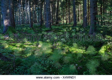 sylvan horsetail, wood horsetail, woodland horsetail (Equisetum sylvaticum), in a forest, Germany, Bavaria - Stock Photo