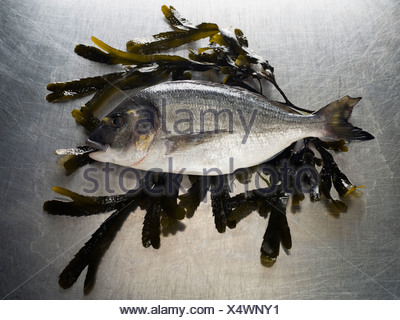 A Seabass sitting on a bed of seaweed - Stock Photo