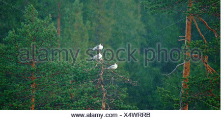Black-headed Gulls (Chroicocephalus ridibundus, Larus ridibundus), Karelia, Finland - Stock Photo