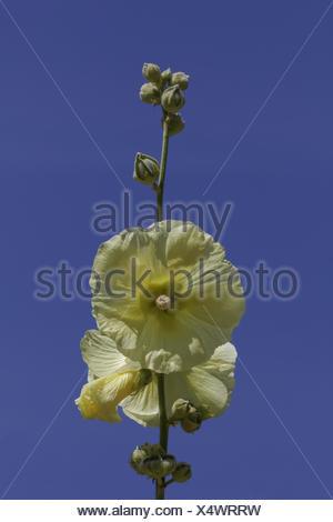Althaea ficifolia (Alcea rosea), Marsh Mallow - Stock Photo