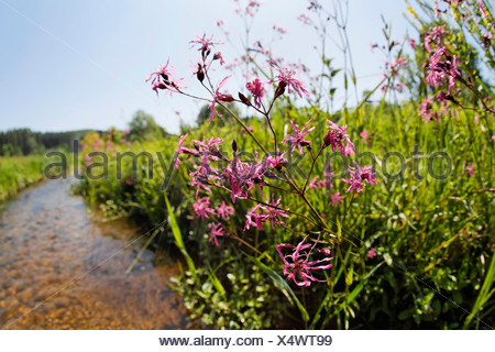 Germany, Bavaria, View of cuckoo flower - Stock Photo