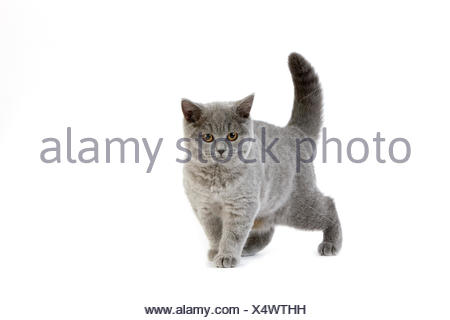 Blue British Shorthair Domestic Cat, Female against White Background - Stock Photo