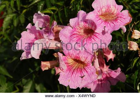 Rosa Trompetenwein (Podranea ricasoliana), auch Weitschlundige Bignonie, Canico, Madeira, Portugal Stock Photo
