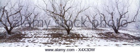 Agriculture - Apple orchard covered in winter frost / Idaho, USA. - Stock Photo