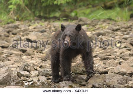 Black Bear looking for food on rocky terain, Ursus americanus - Stock Photo
