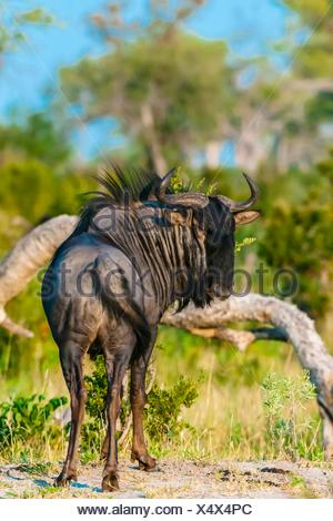 Blue wildebeest (gnu), near Kwando Concession, Linyanti Marshes, Botswana. - Stock Photo