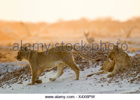 Lion cups (Panthera leo) on a small hill are watching for animals in the Nxai Pan, Makgadikgadi Pans National Park, Botswana, A - Stock Photo