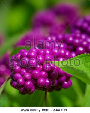 Beautyberry fruit, Callicarpa - Stock Photo