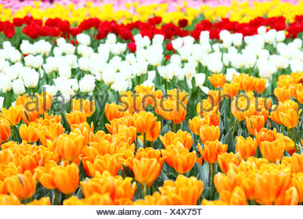 tulips flower - Stock Photo