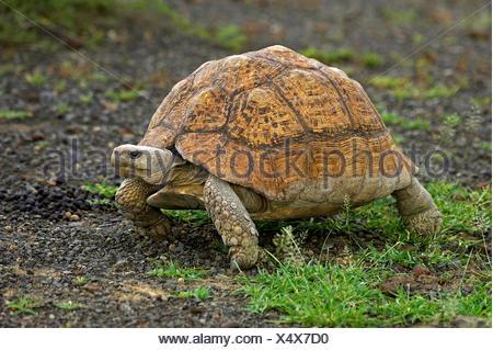 Leopard Tortoise, geochelone pardalis, Adult on Grass, Kenya - Stock Photo