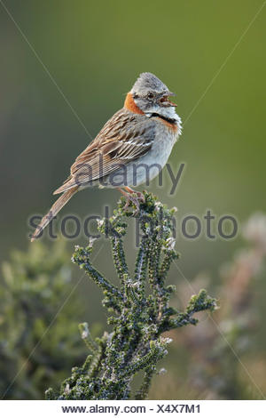 Rufous-collared Sparrow singing - Torres del Paine NP Chile - Stock Photo