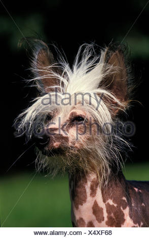 CHINESE CRESTED DOG, PORTRAIT OF ADULT - Stock Photo