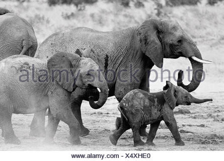 Elephant Family Walking in Mud - Stock Photo