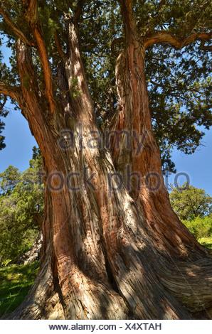 Juniper tree (Juniperus) in the centuries-old juniper forests near Reting Monastery, Tibet, Asia - Stock Photo