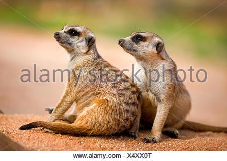 MEERKAT suricata suricatta IN NAMIBIA - Stock Photo