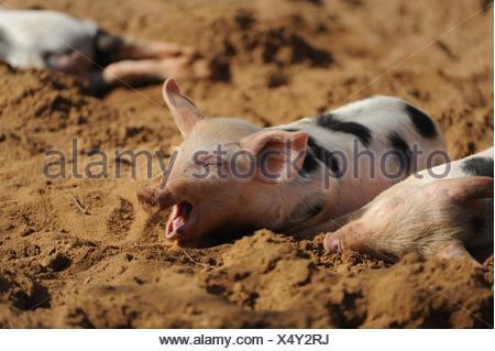 Domestic pig, Sus scrofa domestica, piglet, yawning, - Stock Photo