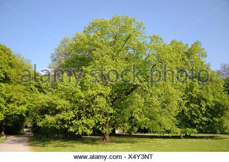 Tilia x europaea, Common lime - Stock Photo