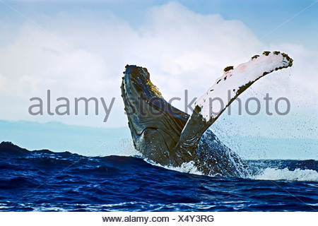 Breaching Humpback Whale, Megaptera novaeangliae, Hawaii, USA - Stock Photo