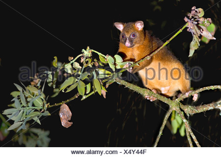 common ringtail possum (Pseudocheirus peregrinus), adult climbing high in the tops of the rainforest foraging at night , Australia, Queensland, Atherton Tablelands - Stock Photo