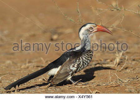 red-billed hornbill (Tockus erythrorhynchus), looks for food on the ground, South Africa, Kruger National Park - Stock Photo