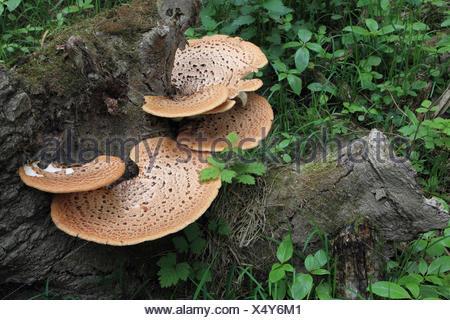 Wood, fungi, scaly Porling, - Stock Photo
