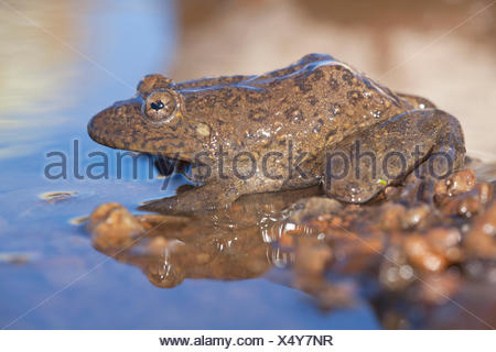 Photo of a Maluti river frog, it has an umbraculum in its eye that protects the eye from UV radiation and is an adaptation for living on high altitudes - Stock Photo