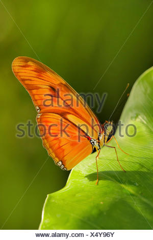 Julia heliconian (Dryas iulia, Dryas julia), on a leaf - Stock Photo