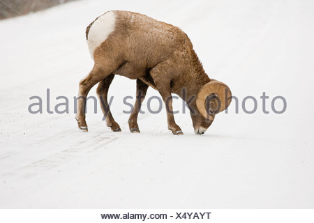 Bighorn Sheep grazing on snow covered field - Stock Photo