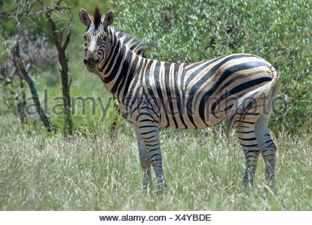 Portrait of a zebra standing in the savannah, South Africa - Stock Photo