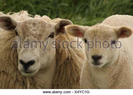 Portrait of sheep and lamb - Stock Photo