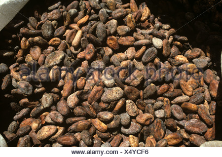 Dried fermented cocoa beans in a sack in the process of making chocolate - Stock Photo
