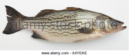 US-Striped Bass fish, close-up - Stock Photo