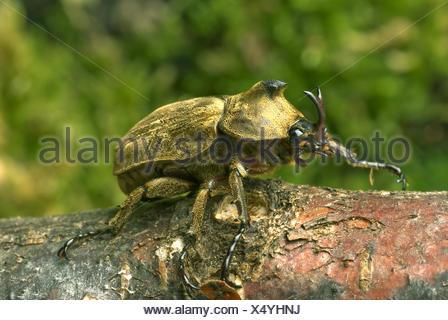 Pfeiffer's rhinoceros beetle, Pfeiffer's horned beetle (Trypoxylus pfeifferi, Allomyrina pfeifferi), male, close-up view - Stock Photo