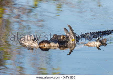 American alligator (Alligator mississippiensis) with a grey heron (Ardea cinerea) in its mouth, Anhinga Trail - Stock Photo